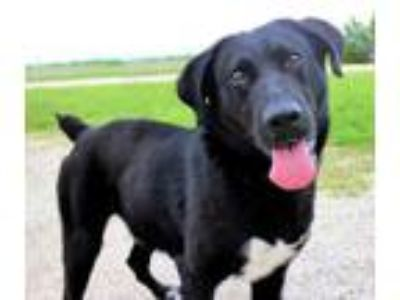Adopt Ross a Black Labrador Retriever / Mixed dog in LaHarpe, KS (25283005)