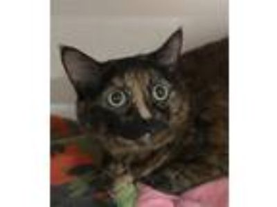 Adopt Bronx a Domestic Shorthair / Mixed cat in Oceanside, CA (25813862)