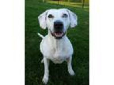 Adopt Stormie a Mixed Breed, Pit Bull Terrier
