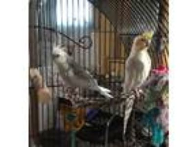 Adopt Razzles and Twix a White Cockatiel bird in Lombard, IL (22452423)