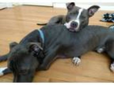 Adopt Felix and Levi a Pit Bull Terrier