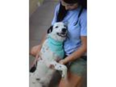 Adopt Snoopy a White - with Black Border Collie / Mixed dog in McKinney