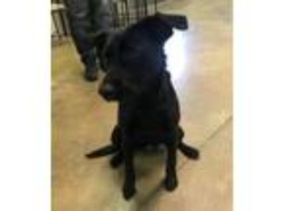 Adopt Midnight a Terrier, Labrador Retriever