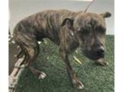 Adopt a Brindle American Pit Bull Terrier / Mixed dog in Visalia, CA (25333774)