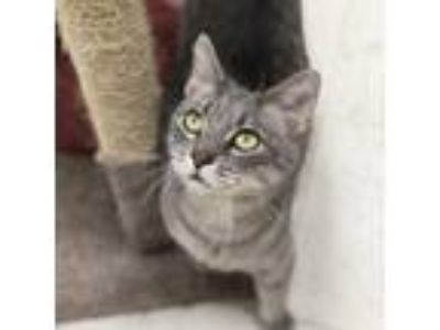 Adopt Salad a Gray or Blue Domestic Shorthair / Domestic Shorthair / Mixed cat
