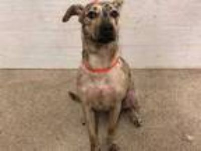 Adopt CELESTE a Tan/Yellow/Fawn - with Black Catahoula Leopard Dog / Mixed dog