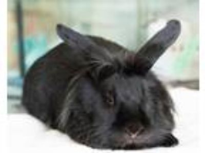 Adopt Whiskers a Black Lionhead / Mixed (short coat) rabbit in Montclair