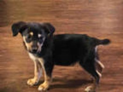 Adopt a Black - with Tan, Yellow or Fawn Rottweiler / German Shepherd Dog /