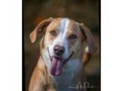 Adopt Cookie a Red/Golden/Orange/Chestnut - with White Collie / Hound (Unknown