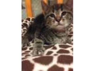 Adopt P.J. a Domestic Shorthair / Mixed (short coat) cat in Wintersville