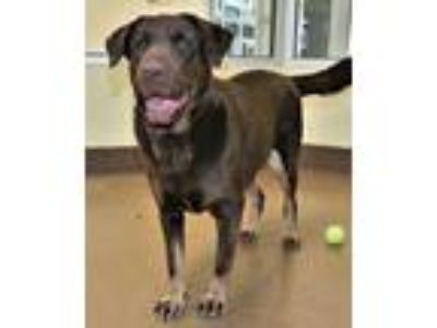 Adopt Caine a Brown/Chocolate - with Tan Labrador Retriever / Mixed dog in