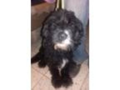 Adopt Cher from Mexico a Havanese / Mixed dog in Seattle, WA (25560188)