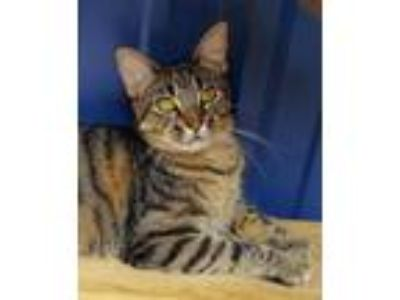 Adopt Jasmine a Domestic Short Hair, Bengal