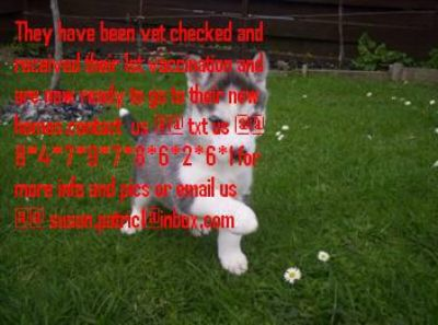 A.k.c registered Siberian Husky puppies for re-homing