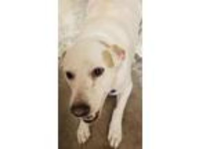 Adopt ADDISON a Labrador Retriever