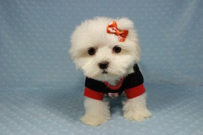 Perfect Maltese Puppies in Las Vegas!