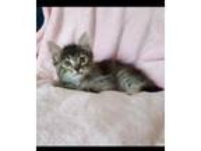 Adopt Peppers a Maine Coon