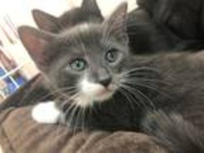 Adopt Chichadee a Domestic Shorthair / Mixed cat in Troy, VA (25644388)