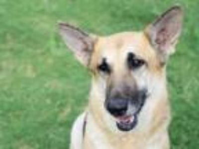 Adopt Kazie a German Shepherd Dog