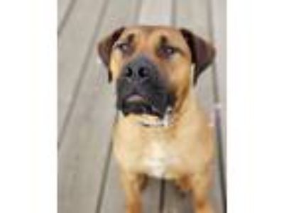 Adopt *Courtesy Post* Tyson a Boerboel
