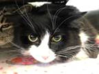 Adopt Gibbs a Domestic Longhair / Mixed (long coat) cat in Cumberland