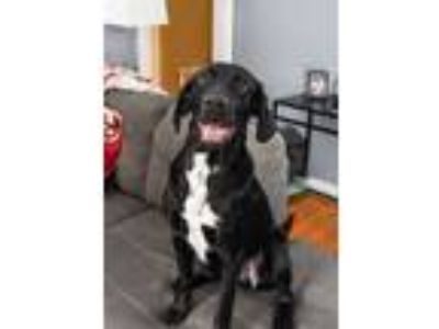 Adopt Trevor a Black - with White Hound (Unknown Type) / Mixed dog in