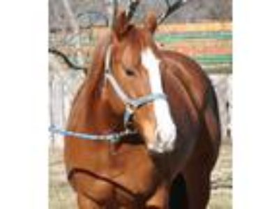 Beautiful Sweet Talented 7 Year Old Mare