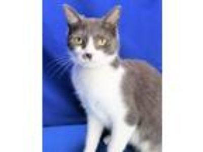 Adopt Gumball a Domestic Short Hair