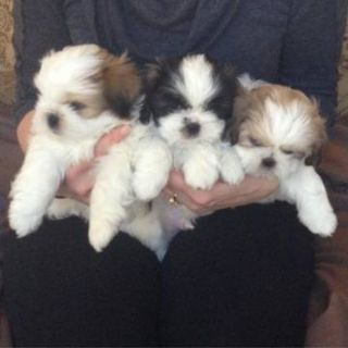 Shih Tzu DOG FOR ADOPTION ADN-65561 - Sociable cuddly Shih Tzu puppies