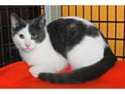 Adopt Maisy Moo a White Domestic Shorthair / Mixed cat in Elfrida, AZ (25303242)