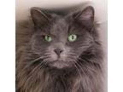 Adopt Kitkat a Domestic Mediumhair / Mixed cat in Golden, CO (25877930)