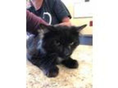 Adopt Sparrow a All Black Domestic Shorthair / Mixed cat in Independence