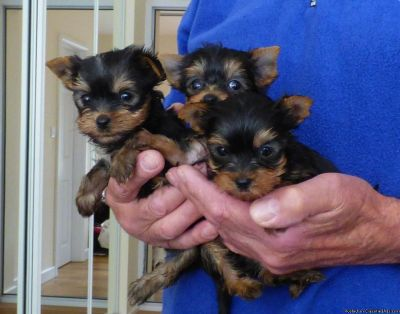 Last Male Yorkie Puppy For Sale