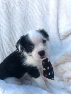 Boston Terrier-Bossi-Poo Mix PUPPY FOR SALE ADN-87431 - Take Home Alan TODAY
