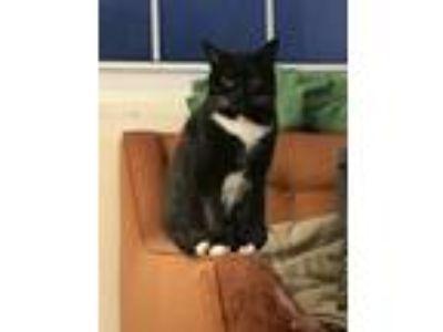 Adopt Zoe a Black & White or Tuxedo American Shorthair cat in Charlotte