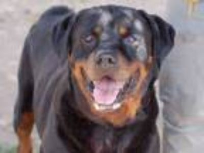 Adopt THOMAS SAWYER a Mixed Breed, Rottweiler