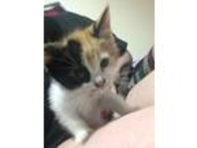 Adopt Callie a Calico or Dilute Calico Calico / Mixed cat in Wilmer