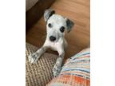 Adopt Arya a Australian Cattle Dog / Blue Heeler, Catahoula Leopard Dog