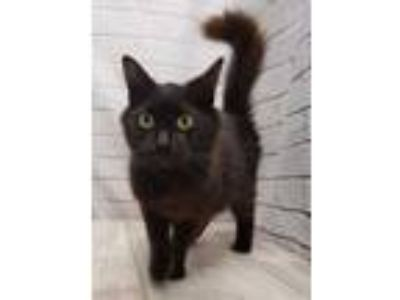 Adopt Fluffy Munchkin a All Black Domestic Longhair / Domestic Shorthair / Mixed