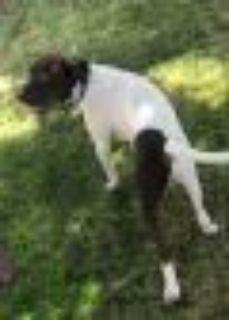 Newton German Shorthaired Pointer Dog
