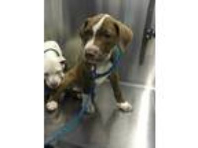 Adopt Max a Brown/Chocolate American Pit Bull Terrier / Mixed dog in