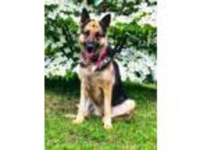 Adopt Sadie a Black - with Tan, Yellow or Fawn German Shepherd Dog / Mixed dog