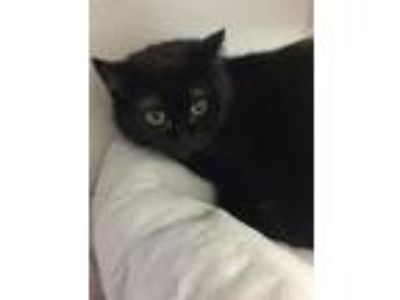 Adopt Margie a Domestic Medium Hair