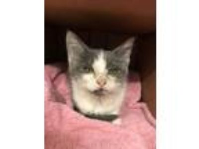 Adopt Kiss a Gray or Blue (Mostly) Domestic Shorthair (short coat) cat in