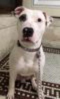 Derrick *URGT* NEED IMMED FOSTER * American Staffordshire Terrier - Pit Bull Terrier Dog