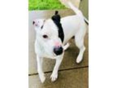 Adopt TROY a Staffordshire Bull Terrier