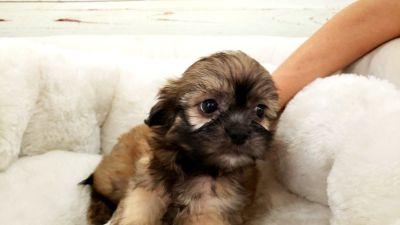 Shihtzu Puppy - Male - Ziggie ($1,350)