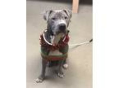 Adopt Zeus a Gray/Silver/Salt & Pepper - with White Shar Pei / Pit Bull Terrier