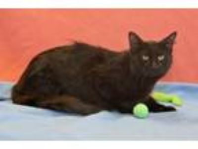 Adopt Snapper a Maine Coon, Domestic Short Hair