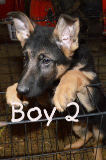 German Shepherd Dog PUPPY FOR SALE ADN-109528 - Adorable AKC Registered German Shepherd